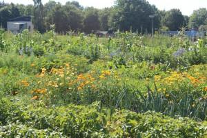 Gemüselbsterntegarten Sommer 2015